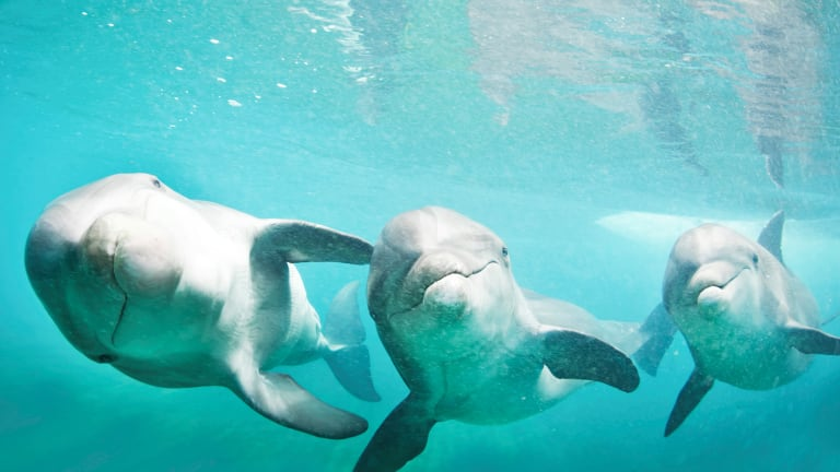 Swim With Rescued Dolphins at Dolphin Cay