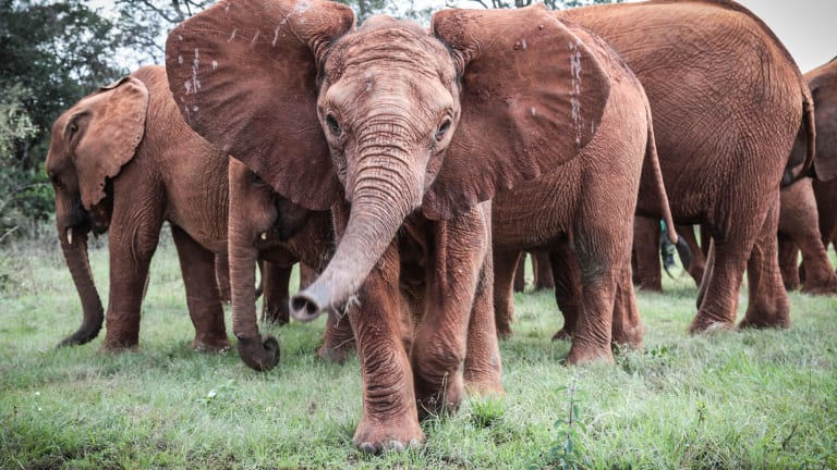 Adopt a Rescued Elephant at the Sheldrick Wildlife Trust