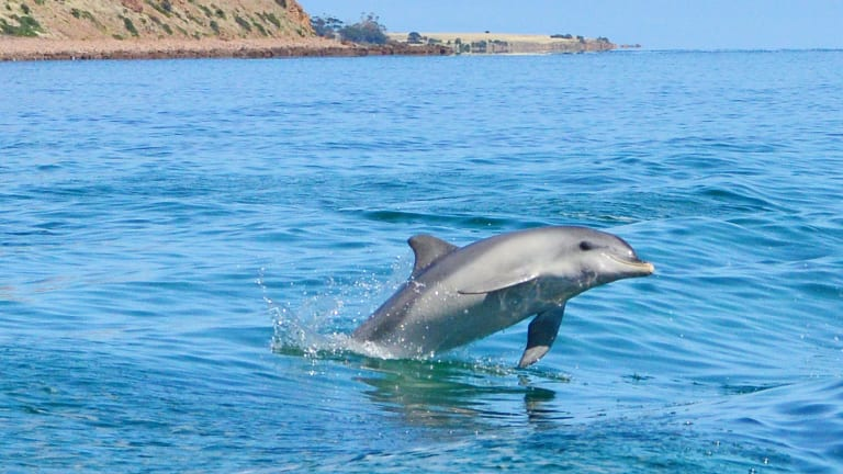 Swim With Dolphins Off Kangaroo Island
