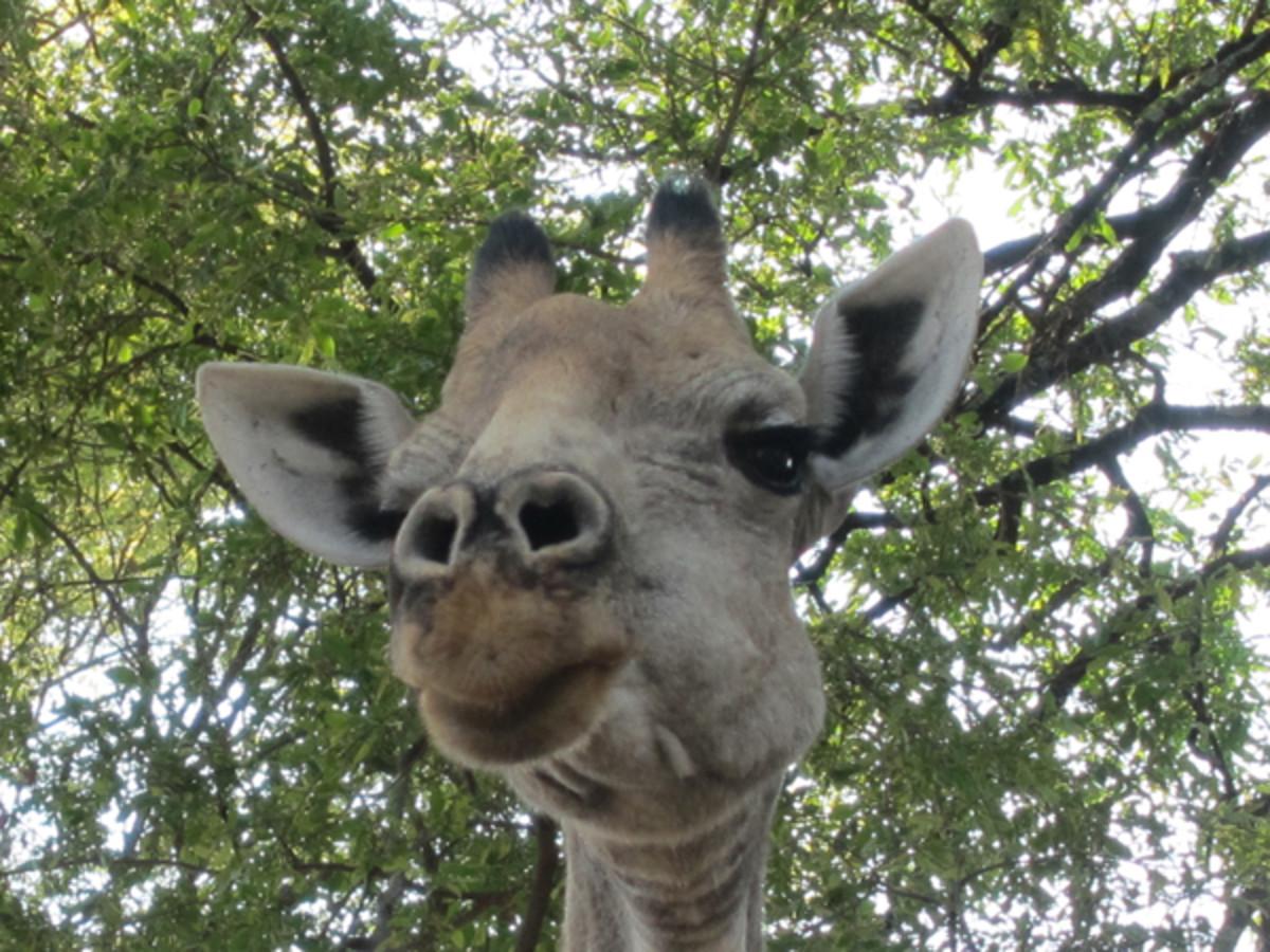 animals-giraffe.jpg