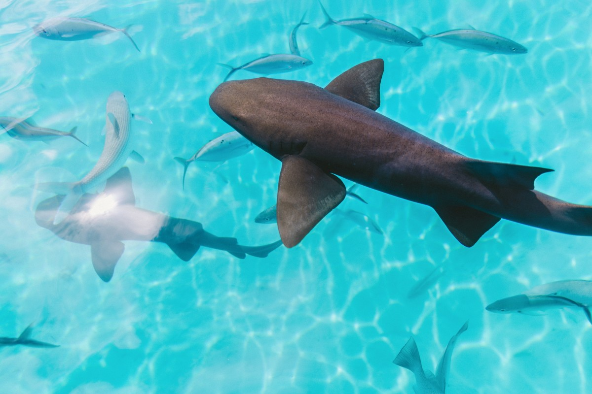 Nurse Sharks at Compass Cay - GALLERY.jpg