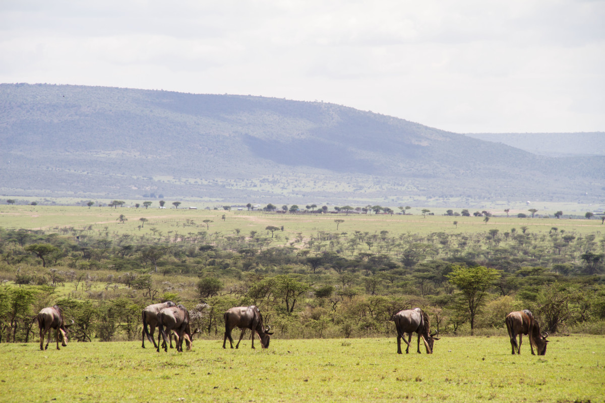 Hemingways Ol Seki-Game Drive Wildebeest Grazing-Kenya - ARTICLE.jpg