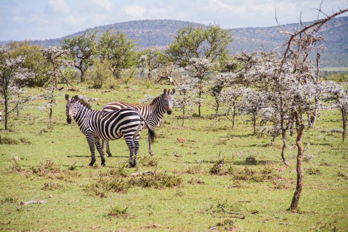 Hemingways Ol Seki-Game Drive Zebras-Kenya - ARTICLE.jpg