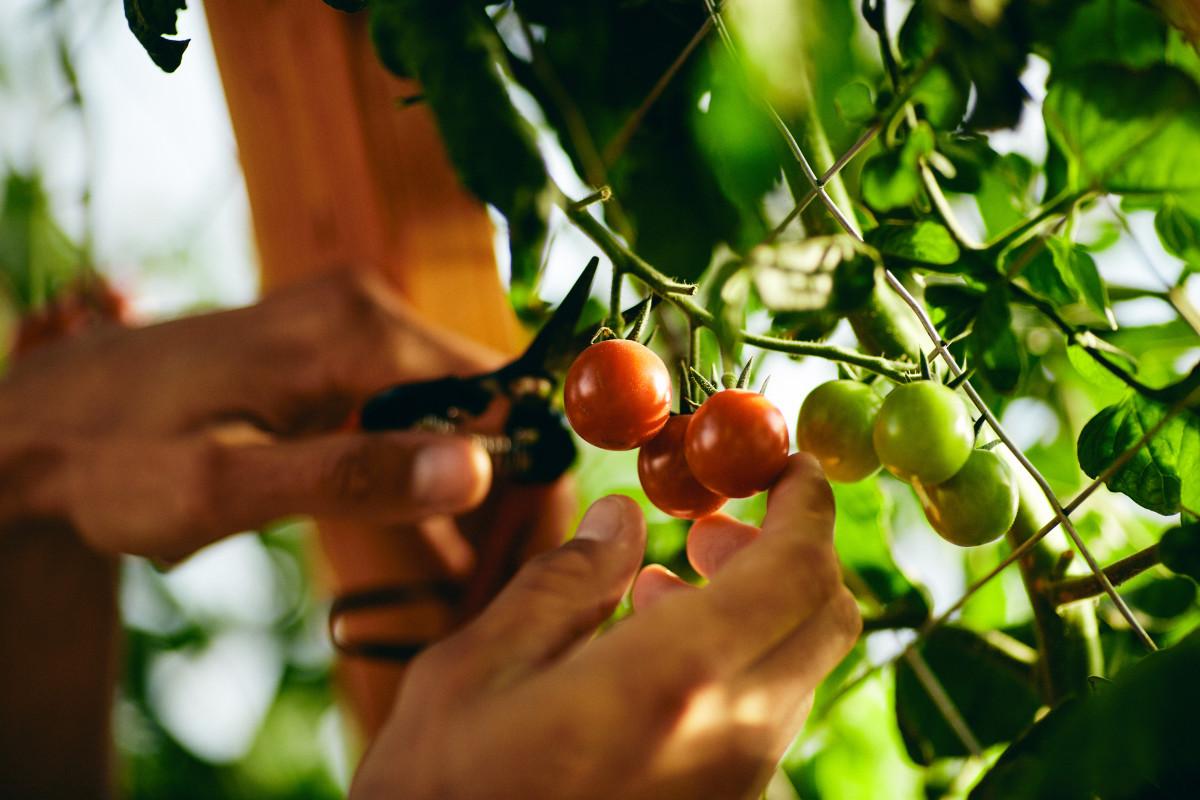 Farm Greenhouse tomatoes